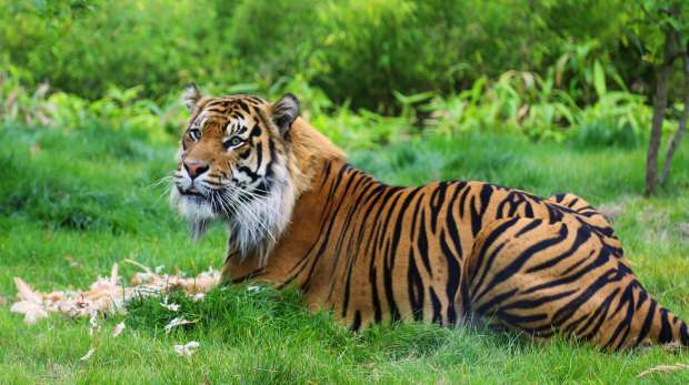 London Zoo's Tiger Territory opened last year